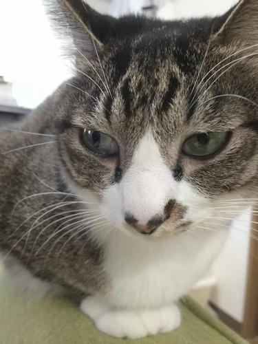 カメラ嫌いで流し目をする猫