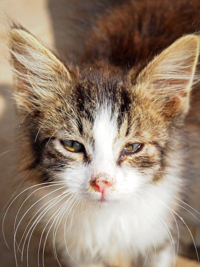 鼻水が出て涙目の子猫