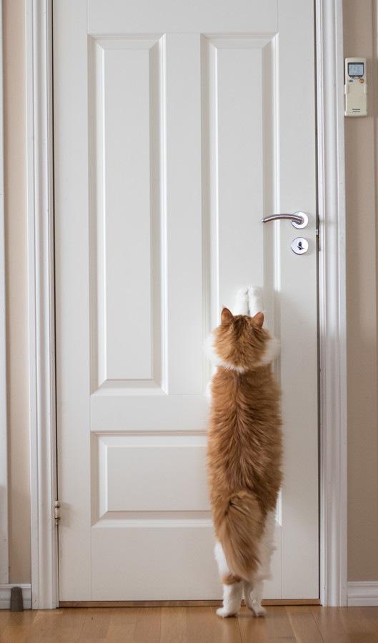 ドアをカリカリする猫