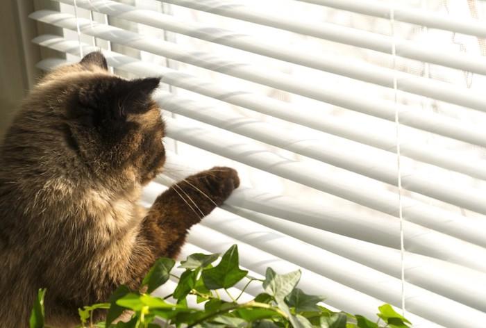 ブラインドを手で下げて外を見る猫