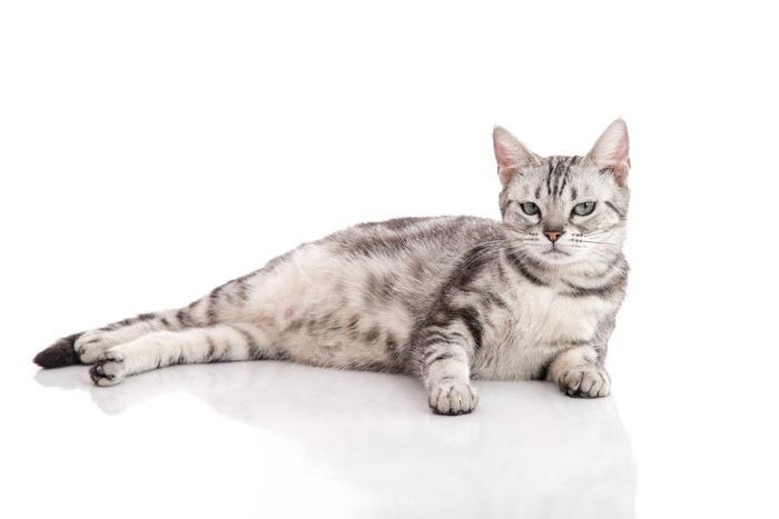 妊娠して横たわる猫