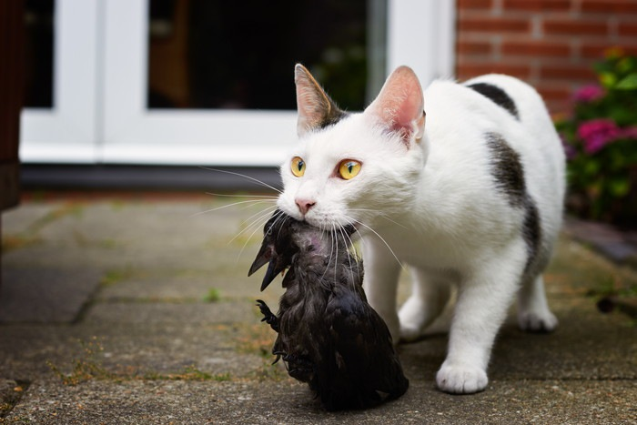 カラスをくわえた猫
