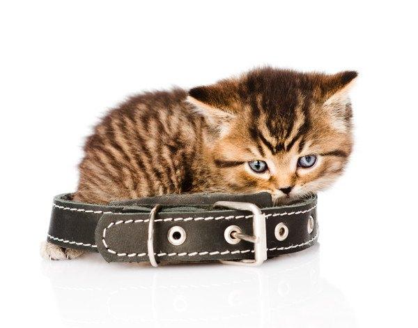 首輪に乗る子猫