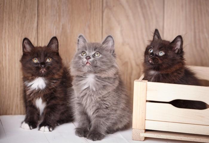 クリリアンボブテイル子猫三匹