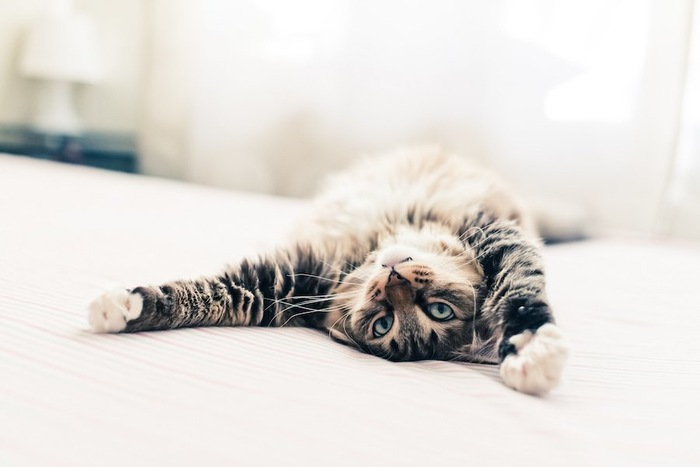 フローリングの上で寝転ぶ猫