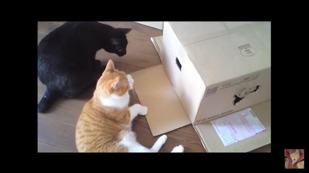 箱をのぞき込む2匹の猫