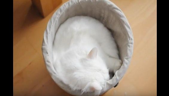 丸まって寝る白猫