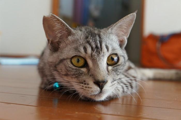 ゆかに伏せる猫