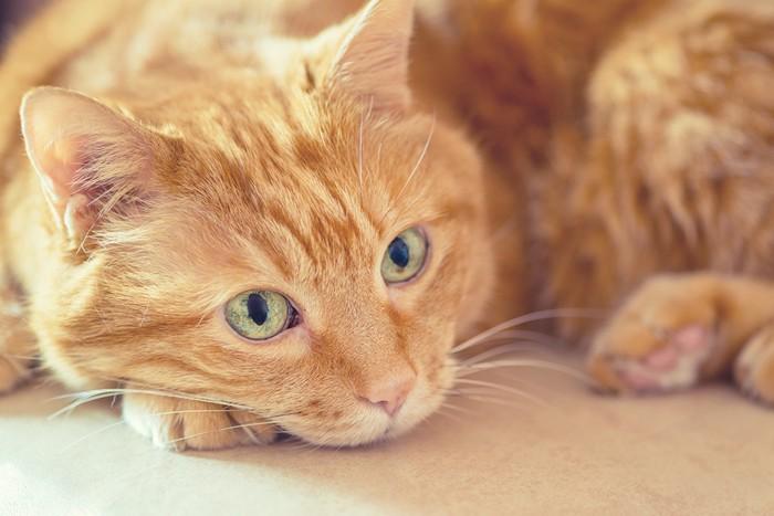 かわいすぎる猫