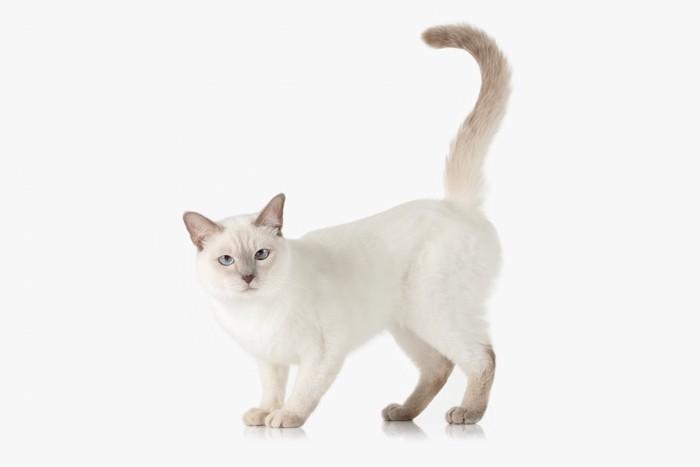 尻尾を立ててこちらを見つめる猫