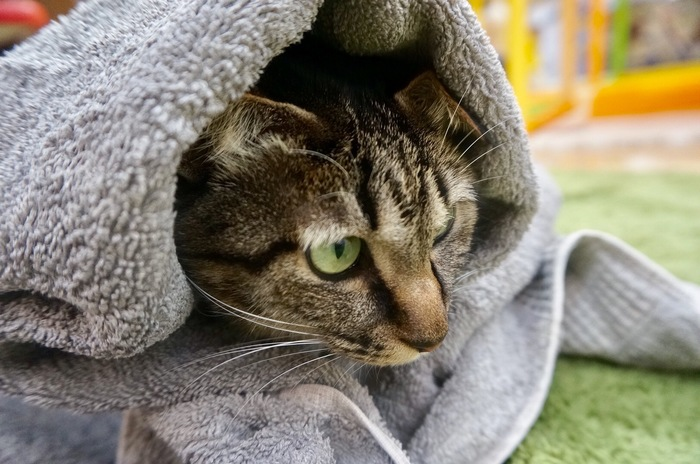 タオルに包まった猫
