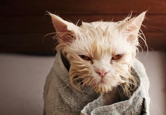ずぶ濡れでタオルに包まる猫