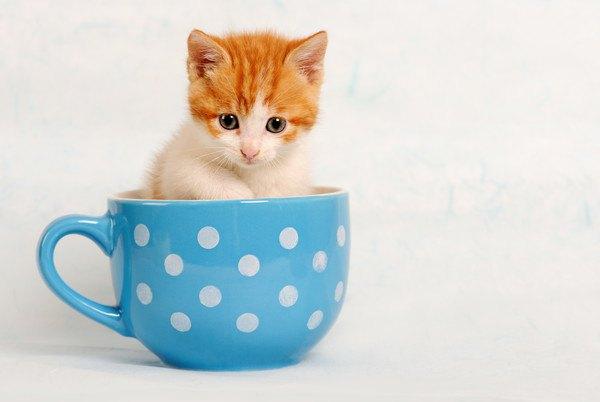水玉のカップに入る子猫