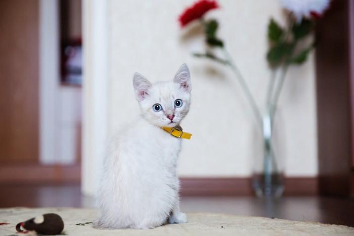 こちらを振り返る首輪をしている子猫