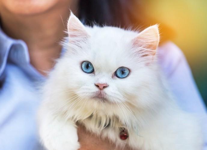 抱かれてこちらを見ている青い目のペルシャ猫