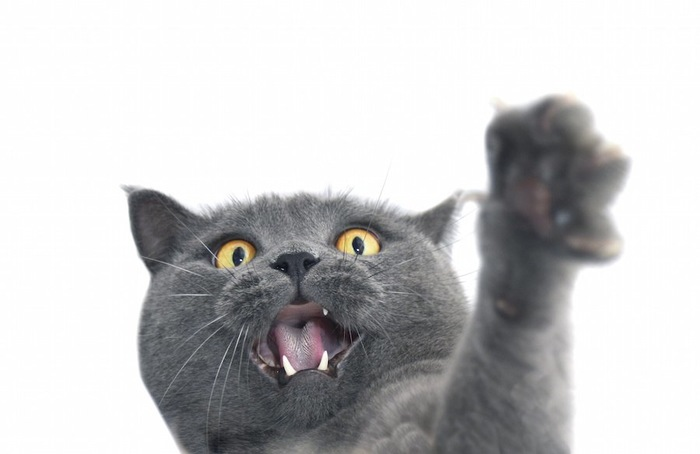 怒ってパンチするグレーの猫