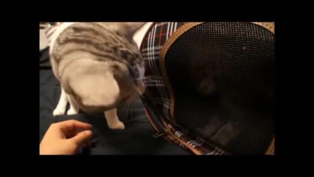 キャリー越しに匂いを嗅ぐ猫