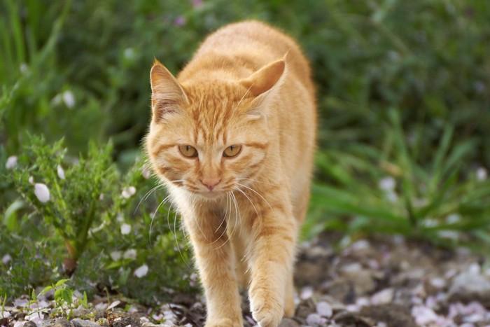 草むらを歩く茶トラ猫
