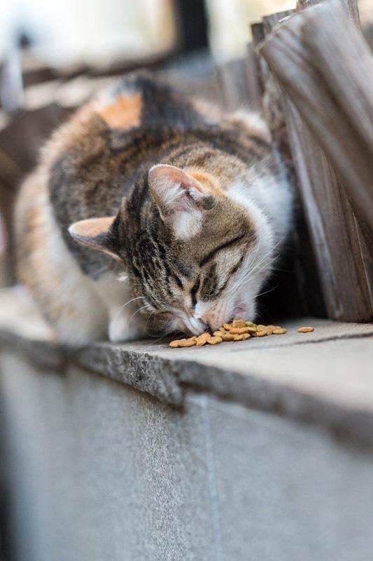 餌を食べる野良猫