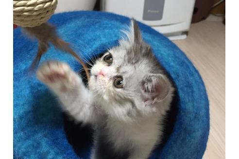 エキゾチックショートヘア子猫4