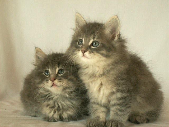 ノルウェージャン2匹の子猫