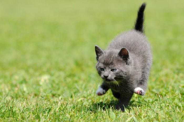 芝生を走るグレーの子猫