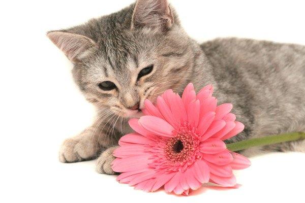 グレーの猫と一輪の花