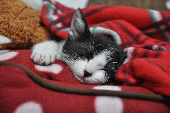 寝ているハチワレの子猫