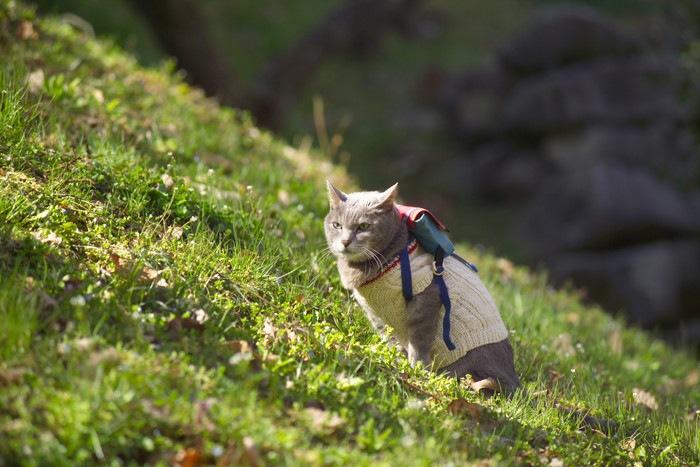 凛々しい顔のお散歩猫