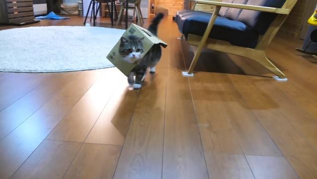 箱を着て歩く猫