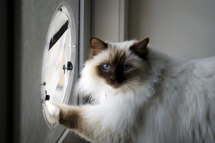 キャットドアとペルシャ猫