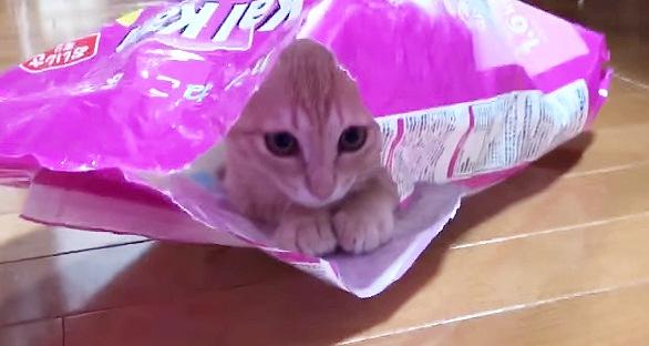 袋の中で足を揃える猫