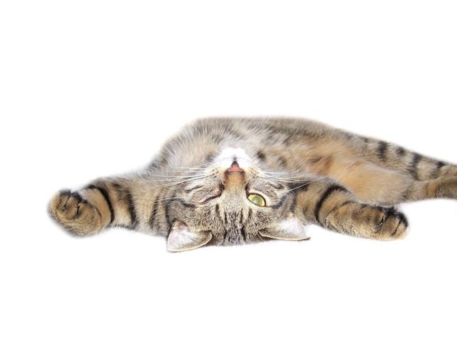 お腹を見せて寝転がる猫