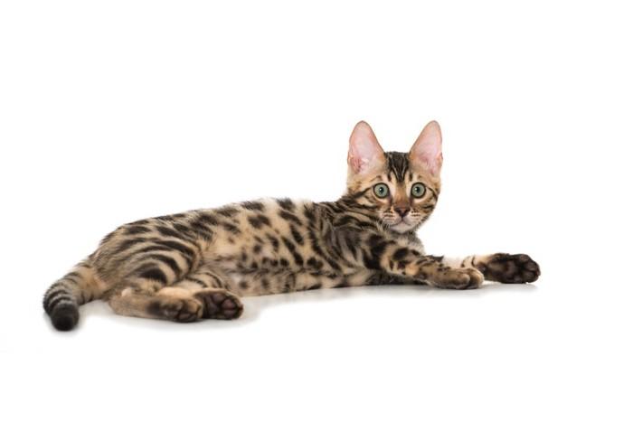 横になるベンガル子猫