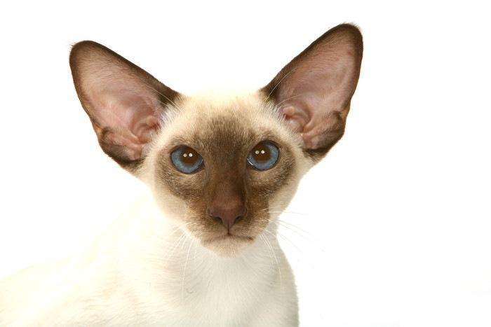 幅広い耳の斜視猫