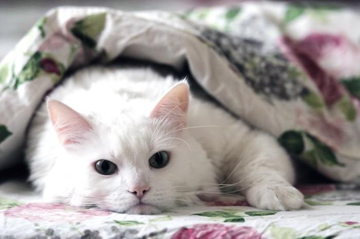 布団の中で横になる白猫