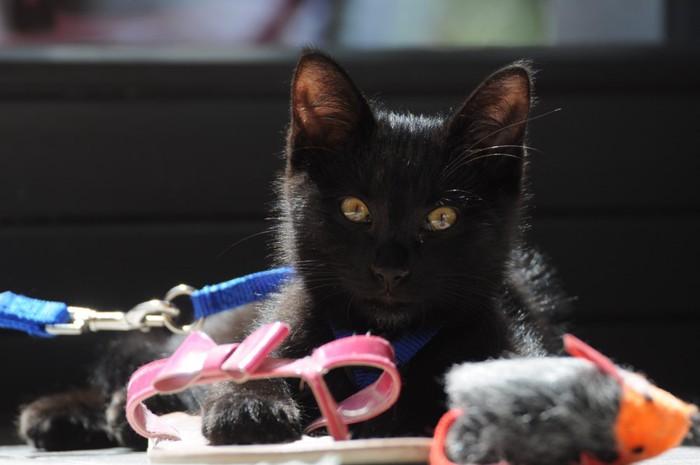 ハーネスを付けた黒猫