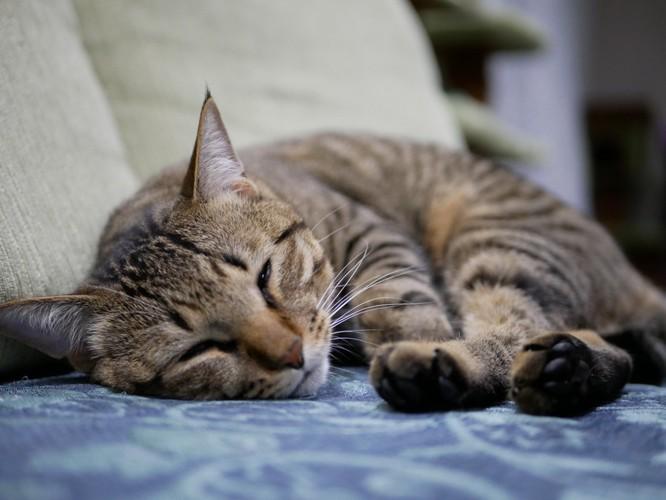 安心して眠っている猫の写真