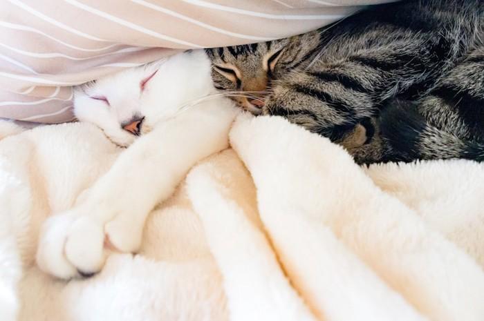 くっついて布団の中で眠る二匹の猫