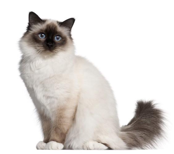 バーマン猫