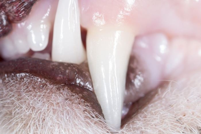 猫の歯アップ
