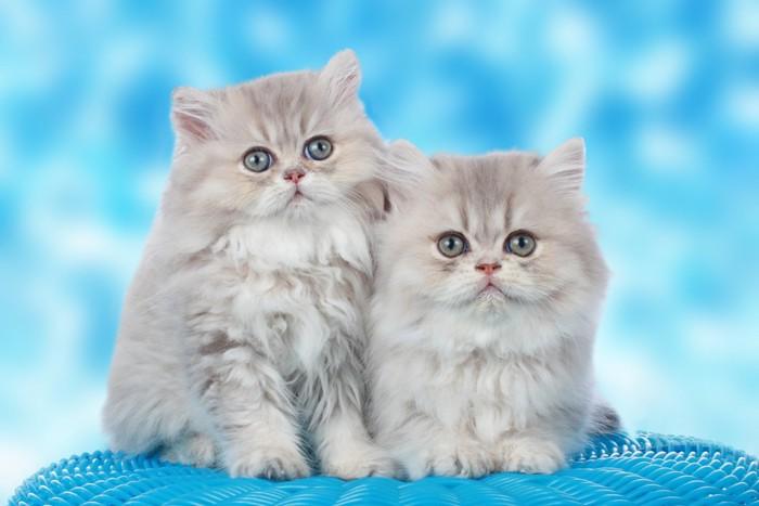 ペルシャ猫2匹横並び