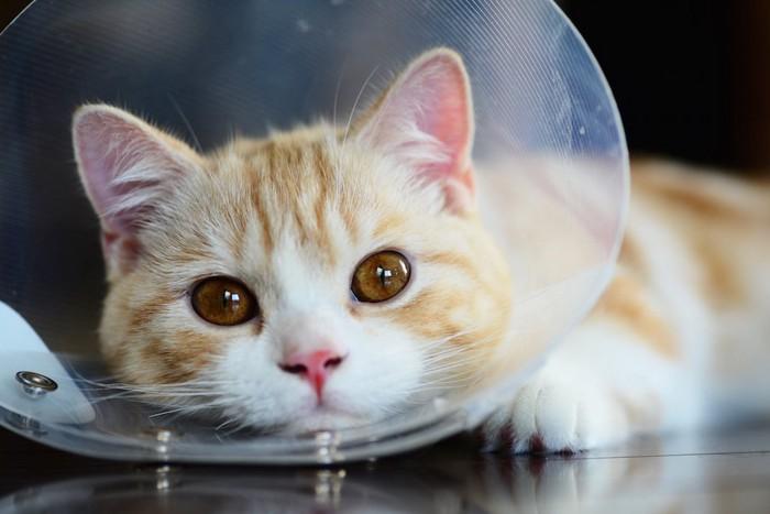 こちらを見つめるエリザベスカラーをつけた猫