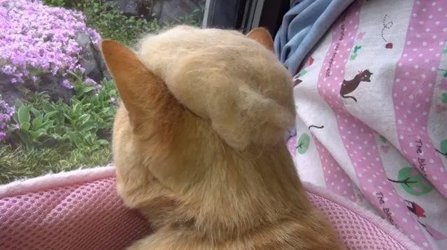 カツラを被る猫(後ろ姿)