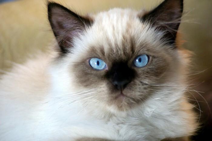 見つめるヒマラヤンの子猫