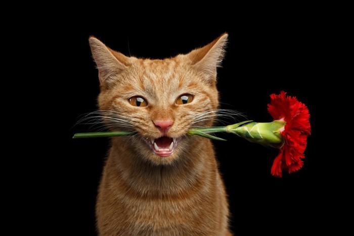 カーネーションをくわえる猫