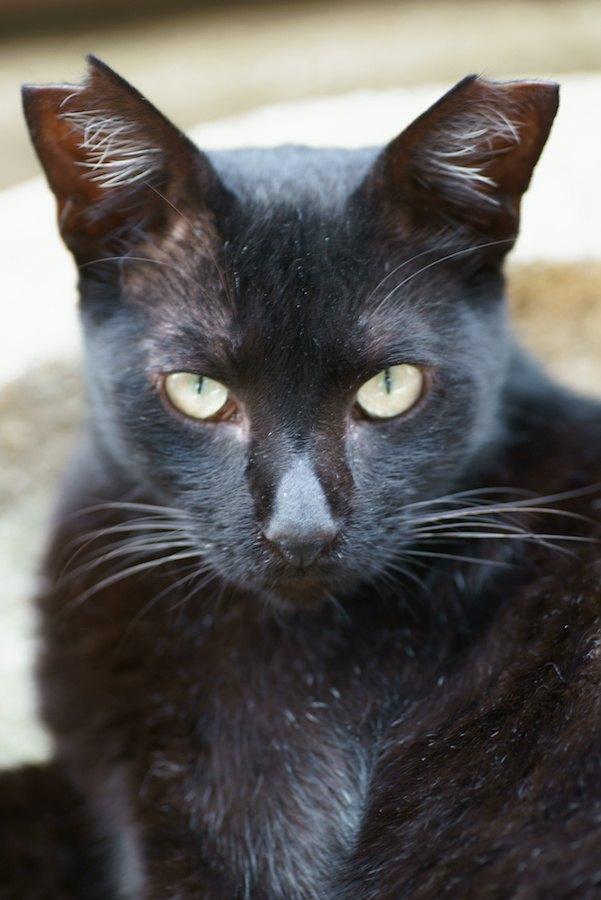 こちらを見つめるサクラ耳の黒猫