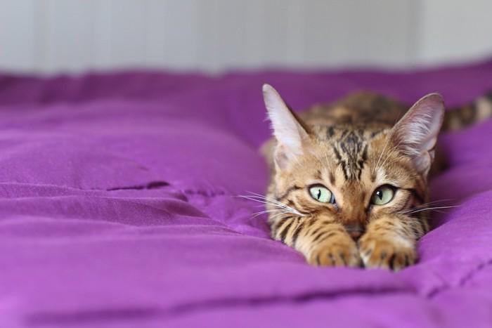 布団の上で手を伸ばして伏せている猫