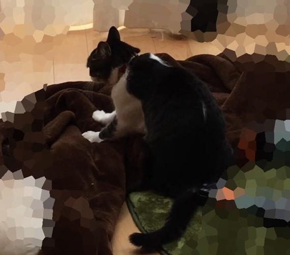 毛布に乗ってモミモミする猫