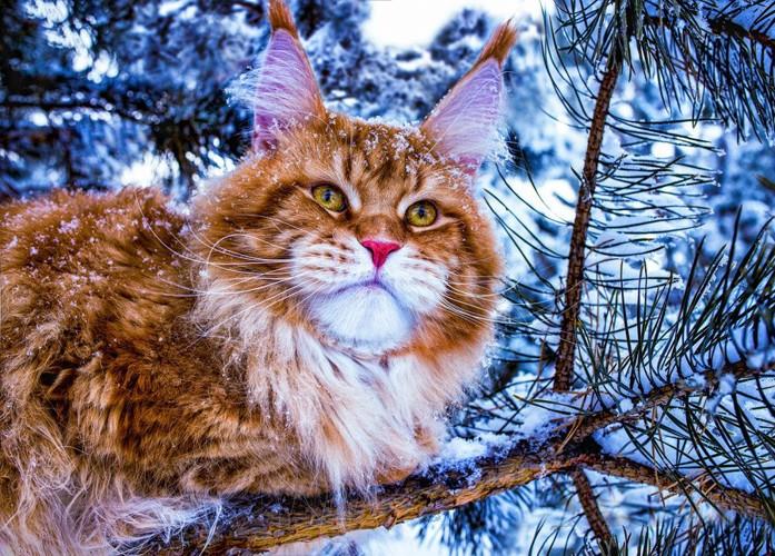 雪の中に居るメインクーン